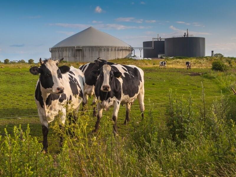 mucche al pascolo energia rinnovabile