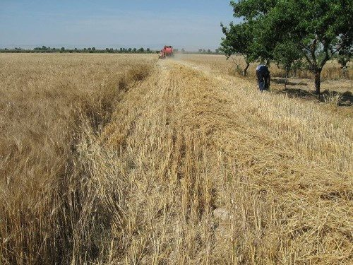 raccolta del grano biologico italiano